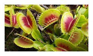 Dionaea muscipula H15 BCP – La Dionée attrape-mouche – 5 graines