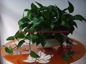 Shopmeeko Potted100 Dichondra Repens Pelouse Bonsai Argent Gras Décoration de Jardin