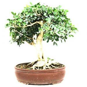 Bois jasmin, Bonsaï d'intérieur, 29 ans, hauteur 43 cm