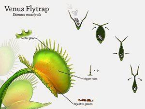 (Insectivores BS001) 20 PCS/Paquet Graines de plantes insectivores Potted Dionaea géant clip Dionée Graines Plante carnivore