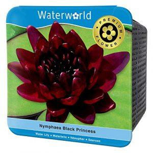 BOTANICLY | Plante aquatique – Waterworld Nénuphar rouge foncé dans aqua set (nénuphar, panier de bassin, gravier, terreau et engrais pour plantes) | Hauteur: 10 cm | Nymphaea Black Princess