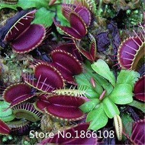 Catégorie Flytrap Seed Bonsai Potted Dionaea Muscipula Plante Semence Terrasse Jardin Plant Carnivor Plant 1 Forfait 1