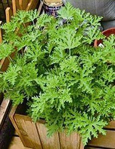 Murieo 10/20/50 Pcs Mosquito Repellent Herbe Graines Accueil Jardin Bonsaï Plantes (10 Pcs)