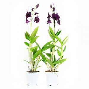 FloraAtHome – Orchidée – Dendrobium Sa-nook Thailand Black – 60cm env. – lot de 2