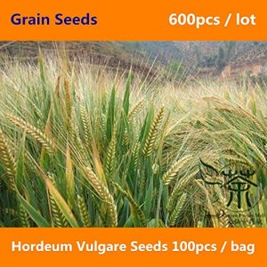 Shopvise Largement Adaptable Culture Hordeum Vulgare 100Pcs, Grain d'orge Naturel Aux Herbes Annuelles, Famille Poaceae Santé Da Mai