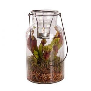 BOTANICLY   2 × Plante de marais – Swampworld lanterne – bougie chauffe-plat – plante carnivore   Hauteur: 26 cm   Sarracenia