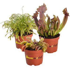 BOTANICLY   Plante de marais – Swampworld – mélange de plantes carnivores + pot coloré   Hauteur: 15 cm
