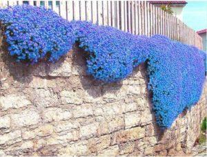 ChinaMarket 100pcs / sac Creeping Graines de thym ou des graines vivaces bleu graines de fleurs de couvre-sol
