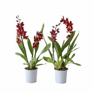 BOTANICLY | 2 × orchidée»Red Ruby» | Hauteur: 50 cm | Cambria Burrageara