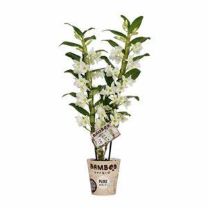 BOTANICLY   Bambou orchidée blanche   Hauteur: 50 cm   Dendrobium nobile 'Apollon'