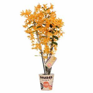BOTANICLY   Bambou orchidée orange   Hauteur: 50 cm   Dendrobium nobile 'Firebird'