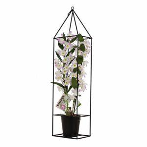 BOTANICLY   Bambou orchidée rose avec cadre   Hauteur: 78 cm   Dendrobium nobile 'Kumiko'