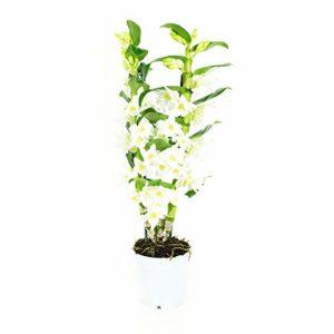 BOTANICLY   Orchidée – Apollon   Hauteur: 60 cm   Dendrobium Nobilé