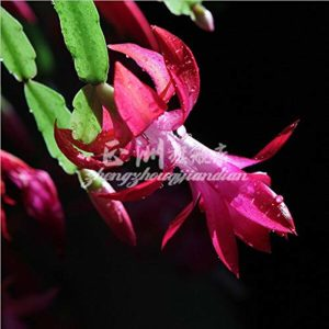100 Pcs Raros Sementes Schlumbergera Varanda Bonsai Sementes De Flores, Sementes Schlumbergera Sementes Zygocactus Truncatus, 21 Cores DisponÍVeis