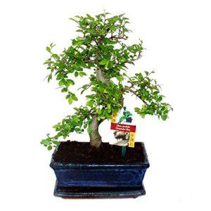 Bonsai orme de Chine – Ulmus parviflora – 8 ans