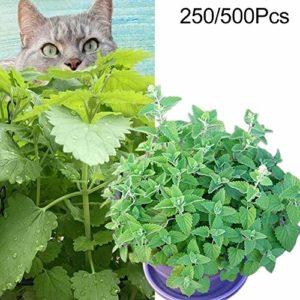 Duk3ichton Nepeta Cataria Plantes Graines 250/500 Pcs Nepeta Cataria Graines Cat Herbe à La Menthe Cat Herbe Plante Jardin Bonsaï Décor Graines Catnip 500pcs